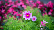 nature cosmos pink flower,garden,photography pics