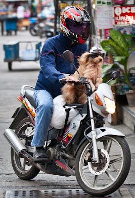 Собака за рулем тайского скутера