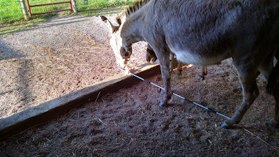 miniature donkey with fiberglass electric fence post in mouth