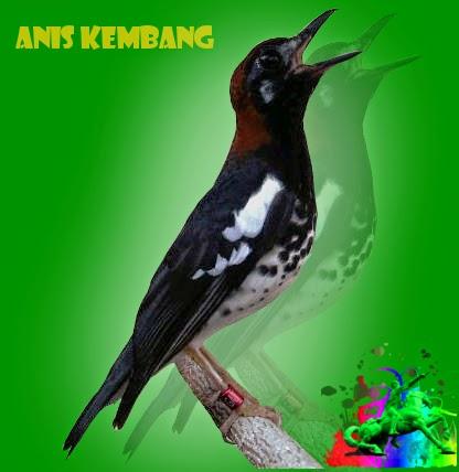 Download mp3 suara burung jenis punglor/anis