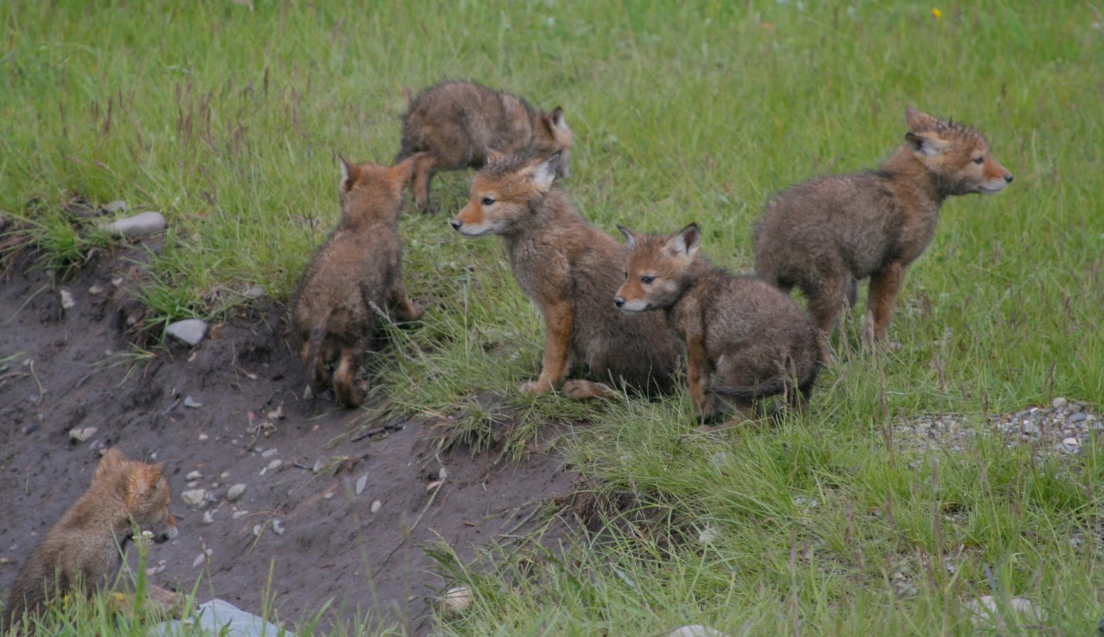 Fy Nyth   : Coyote Puppies!