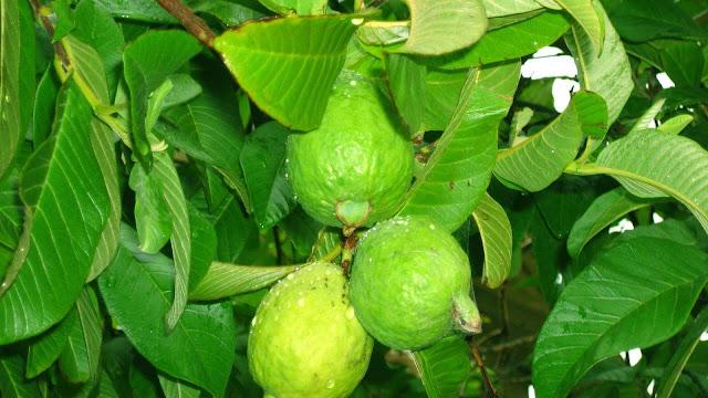 buah jambu