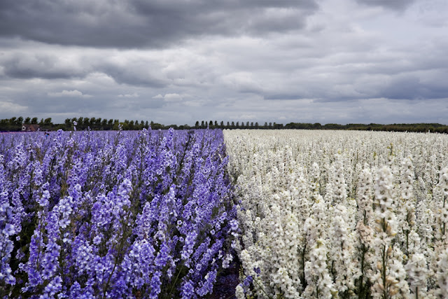 A stunning field of blue and white English Delphiniums www.martynferryphotography.com