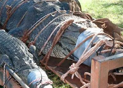 Αυτός είναι ο πελώριος κροκόδειλος των 600 κιλών – Τον έψαχναν 8 ολόκληρα χρόνια