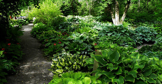 A Hosta Display Garden To Visit