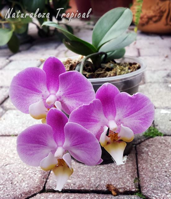 Variedad rosada de la flor de una orquídea Mariposa, género Phalaenopsis