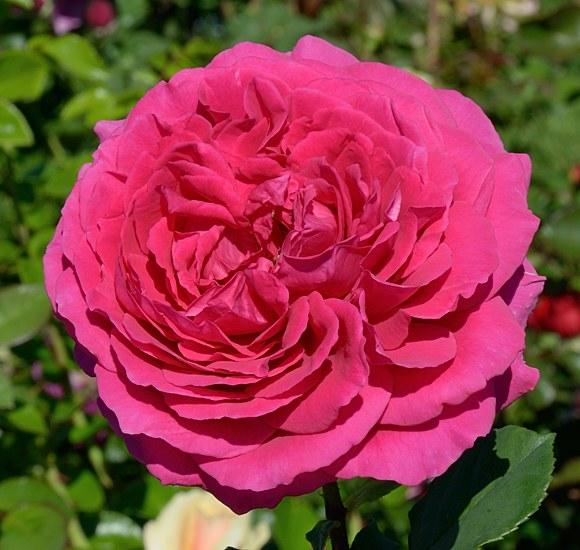 Tower Bridge сорт розы Харкнес фото