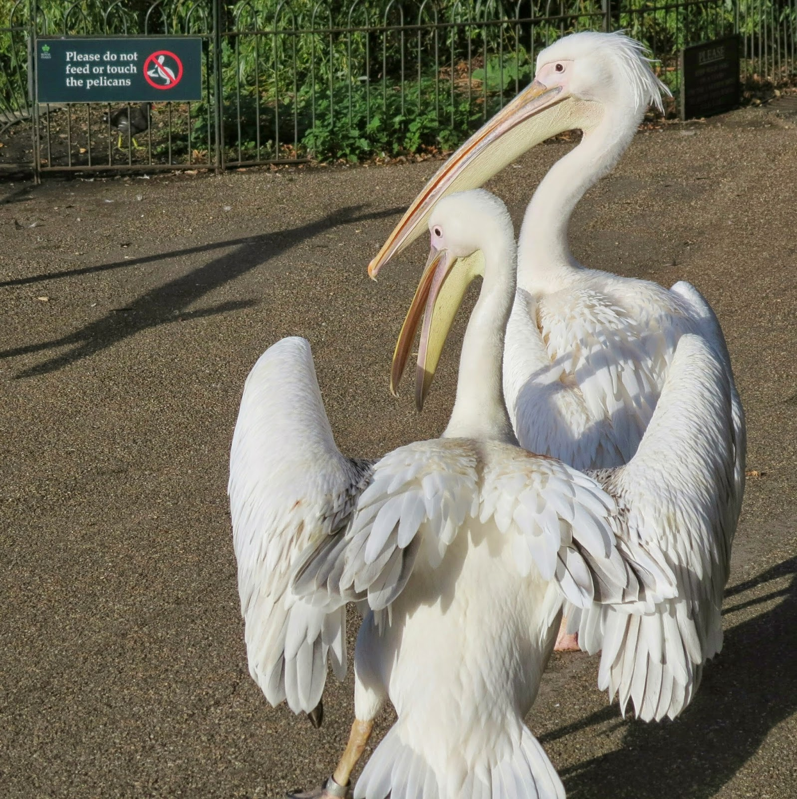 St. James Park Pelicans