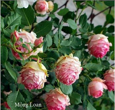 hoa hồng mộng loan