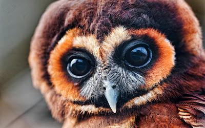 black eyes owl widescreen hd wallpaper
