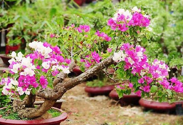 Tanaman Hias Bunga bougenvile