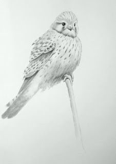 Female kestrel, graphite on Bristol board