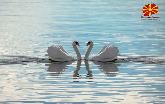 Two Swans Making a Heart - Ohrid Lake, Macedonia