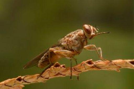 2. Tsetse Fly