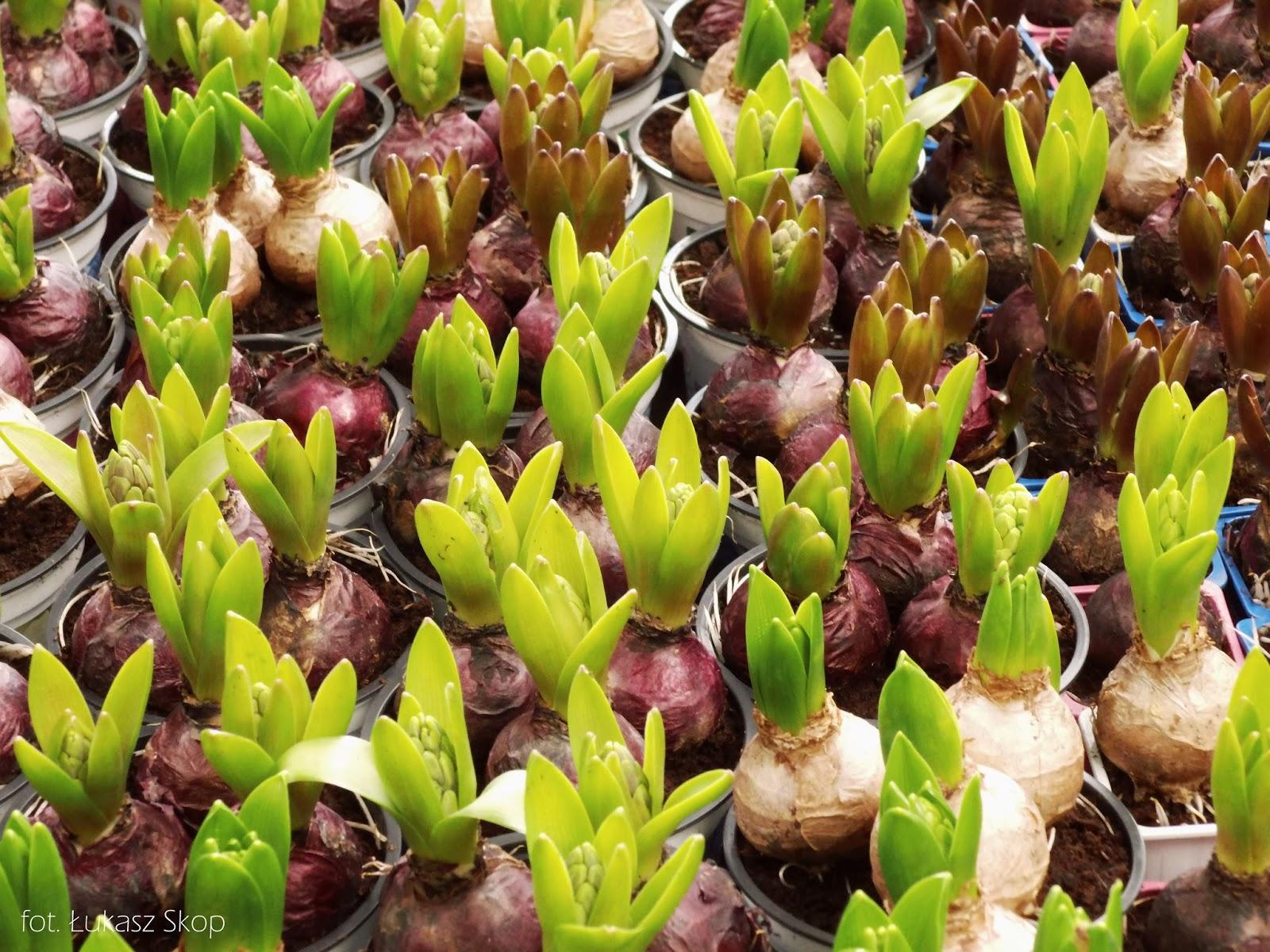Sekrety Kwiatów 20 Hiacynty Bez Ogródek Blog Ogrodniczy