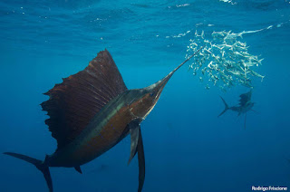 7 Unknown Facts about Sailfish