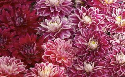 Chrysanthemum Flower Wallpapers