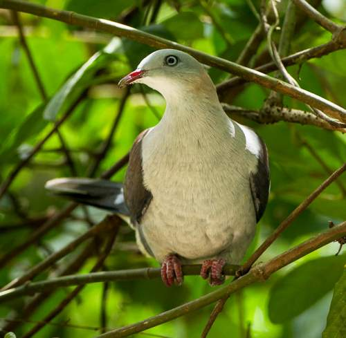 Birds of India - Photo of Mountain imperial pigeon - Ducula badia