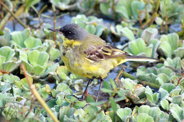 Yellow Wagtail, one of the most common sighting at the lake