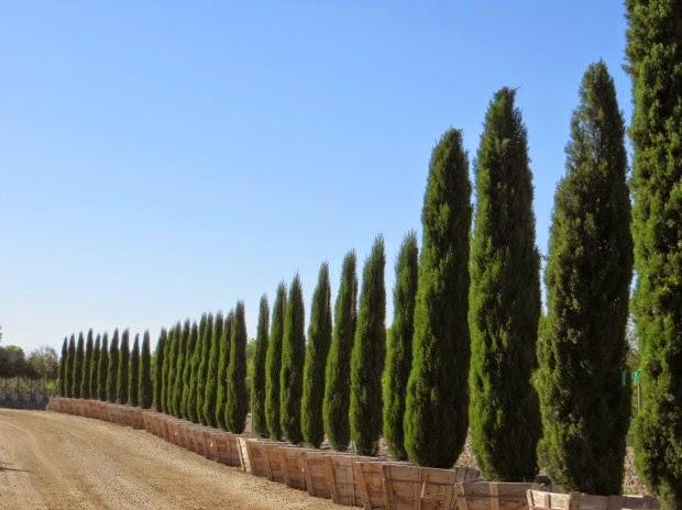 Las 7 con feras m s utilizadas como setos guia de jardin for Tipos de arboles decorativos