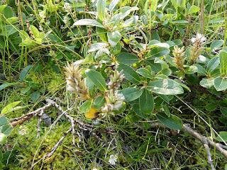 Saule arctique - Salix arctica