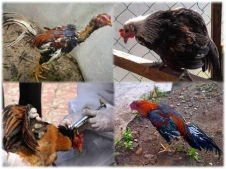 Cara Mencegah Penyakit Pada Ayam Kampung Ternak Ayam
