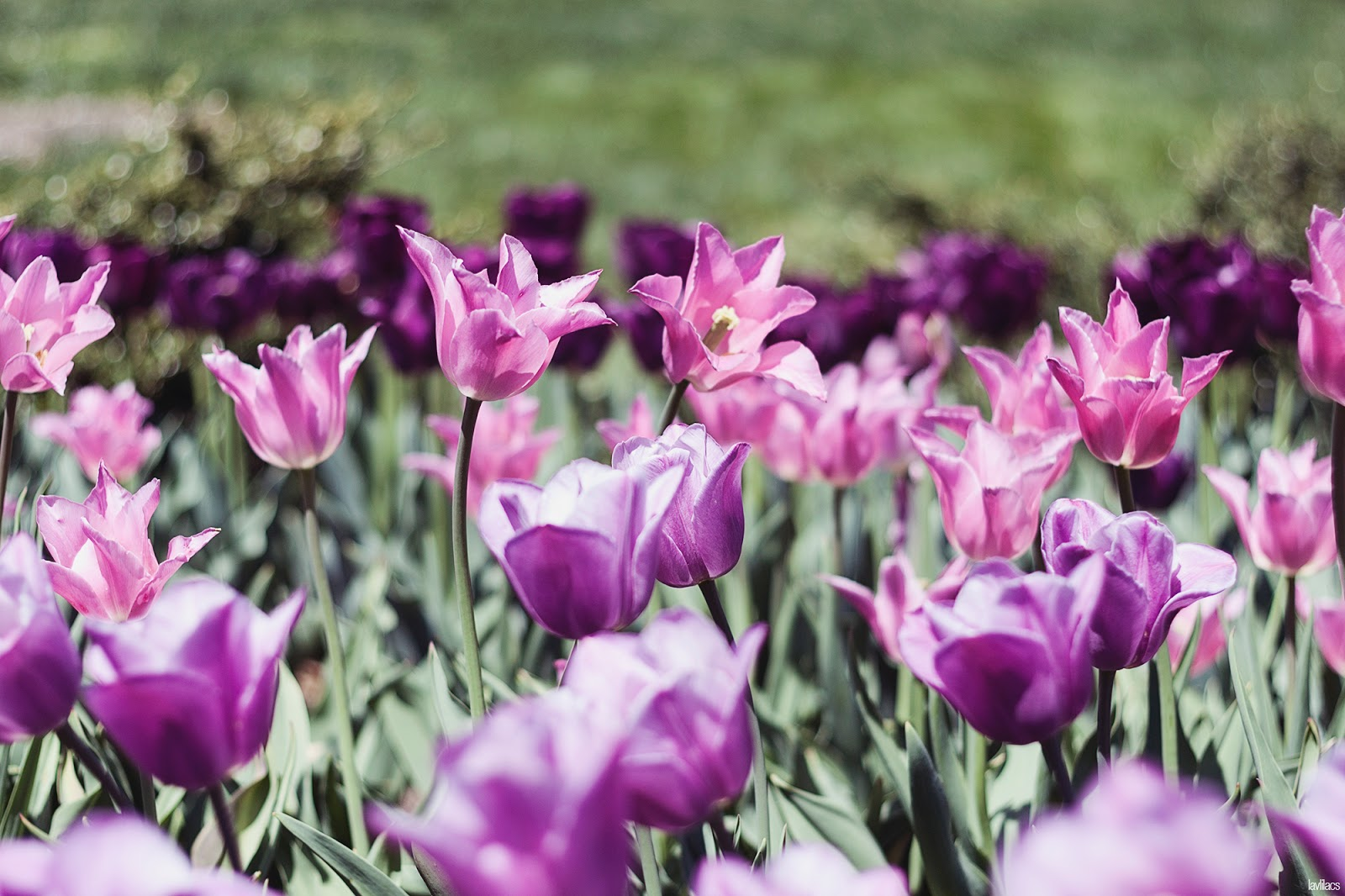 Brooklyn Botanic Garden - Pink and Purple Tulips