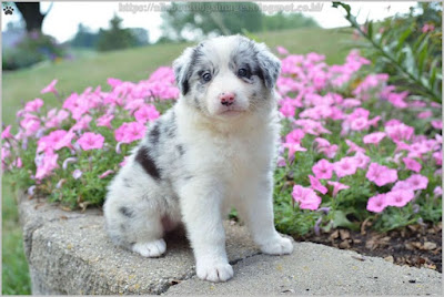 All About Dogs Images Australian Shepherd Puppies Ohio