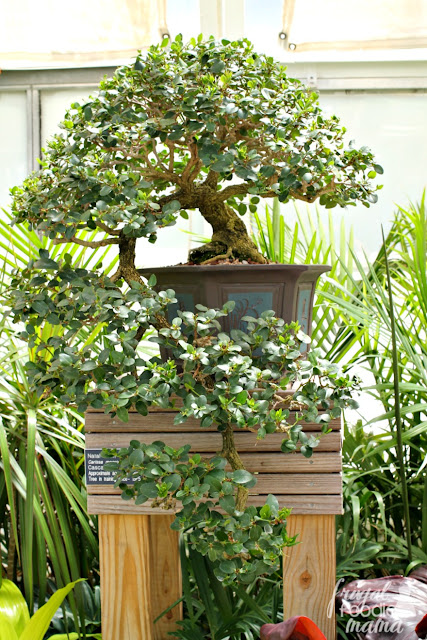 The Bonsai Display is currently being showcased now through November 12th at the Dorothy M. Davis Showhouse & an outdoor courtyard at the Franklin Park Conservatory in Columbus, Ohio.