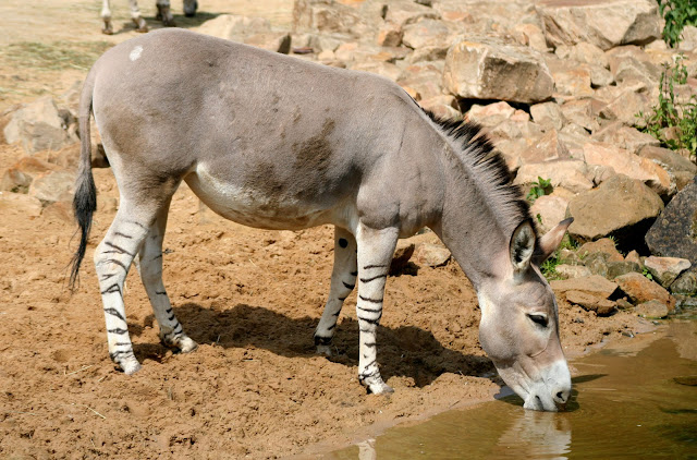 African Wild Ass facts and information 7