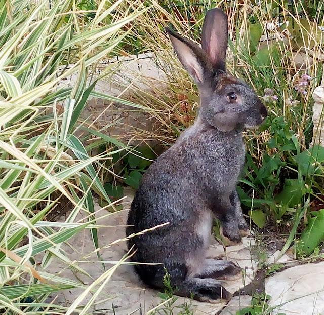 милый кролик, который пару дней подряд прибегал к нам лакомиться клевером.