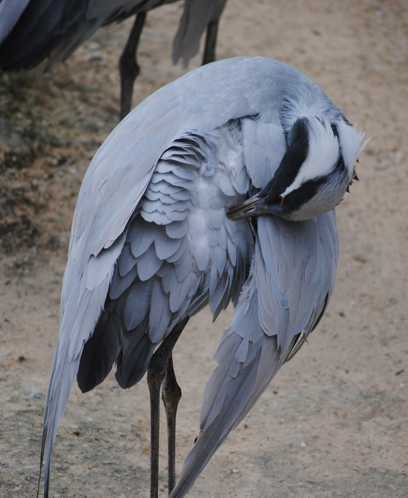Picture of a heron preening.