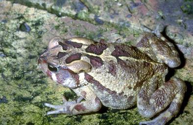 endangered toads