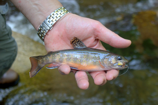 Brook Trout from the Great Smoky Mountains