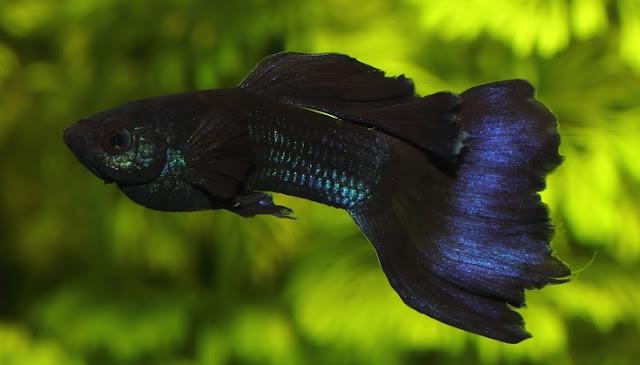 Ikan Guppy Blue Moscow - Cara Budidaya Ikan Guppy
