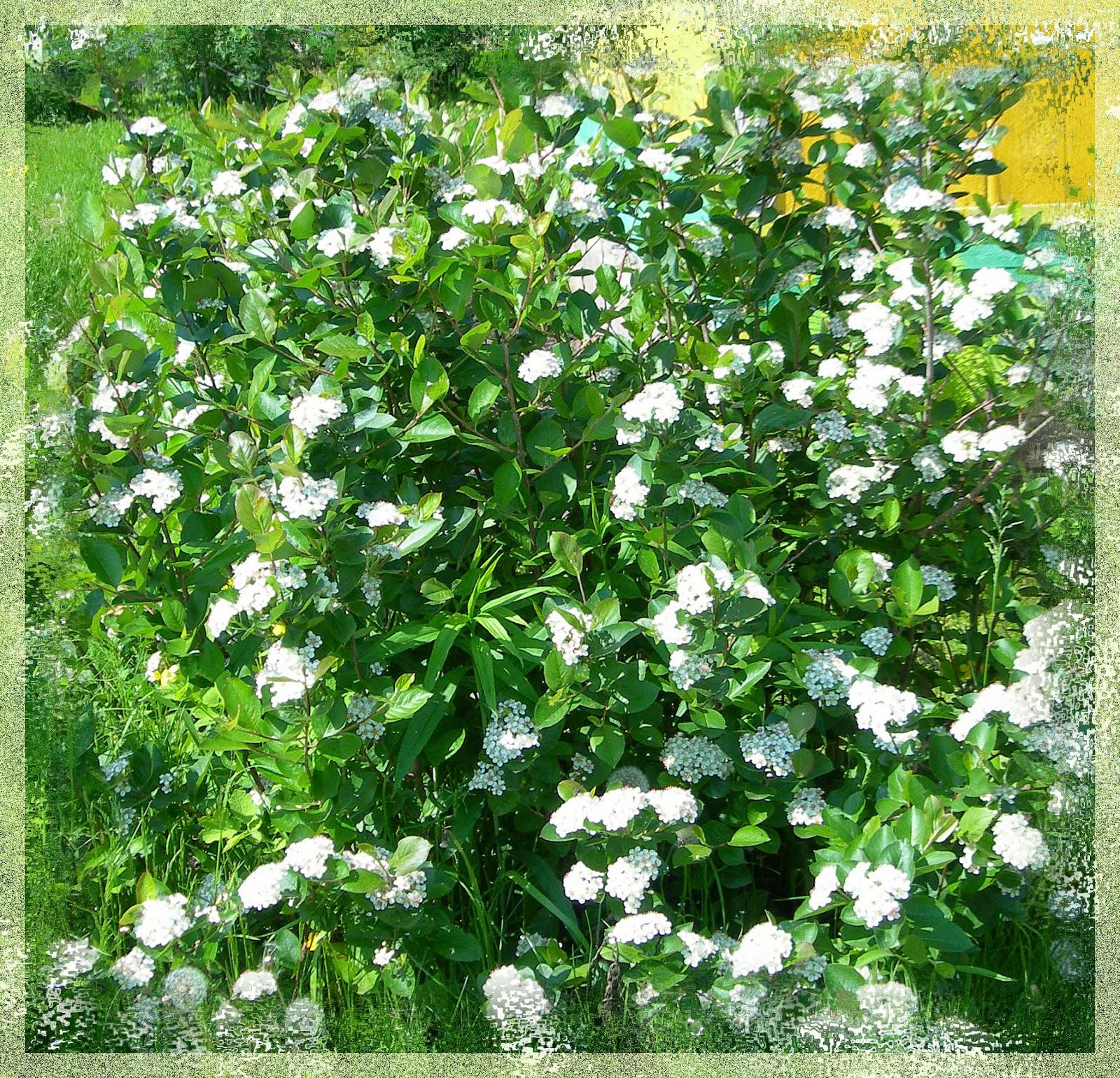 цветет черная рябина
