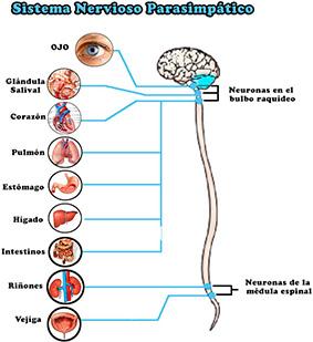 disfunción eréctil sistema nervioso parasimpático