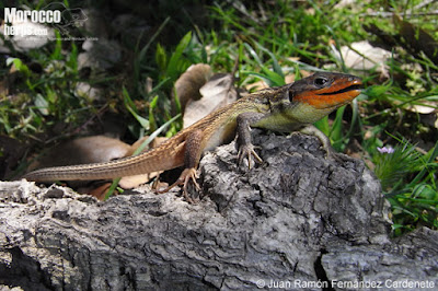 european lizards