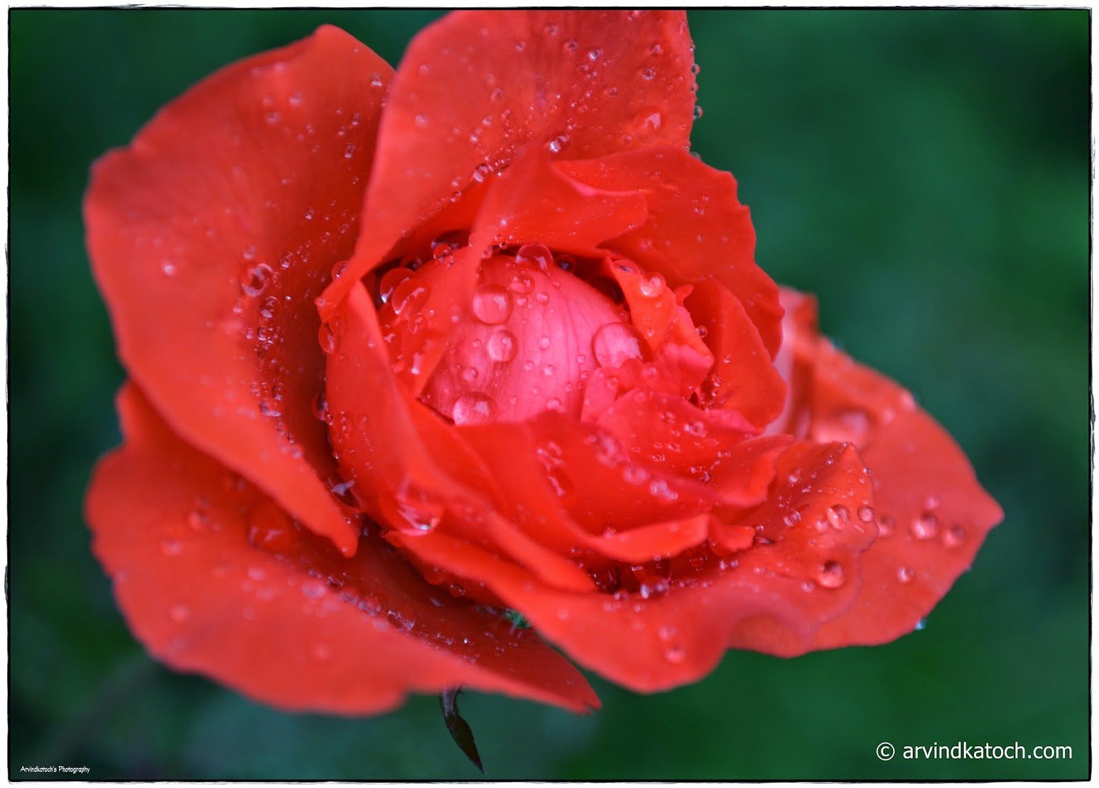 Red Rose, Rain drops, Rose,
