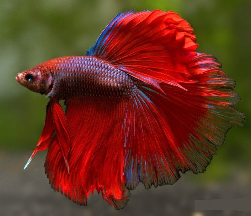 Image New Step by Step Roadmap for Can a Betta Fish Live in a Bowl
