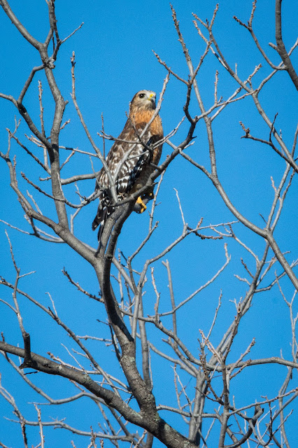 Red-Shouldered Hawk, River Legacy Parks