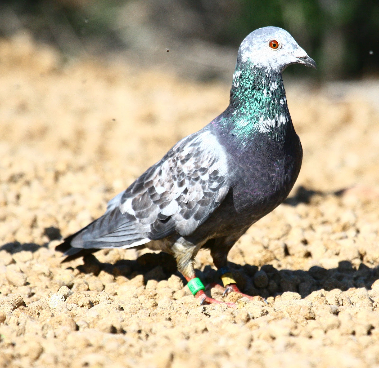All information about Racing Pigeons For Sale - #catfactsblog