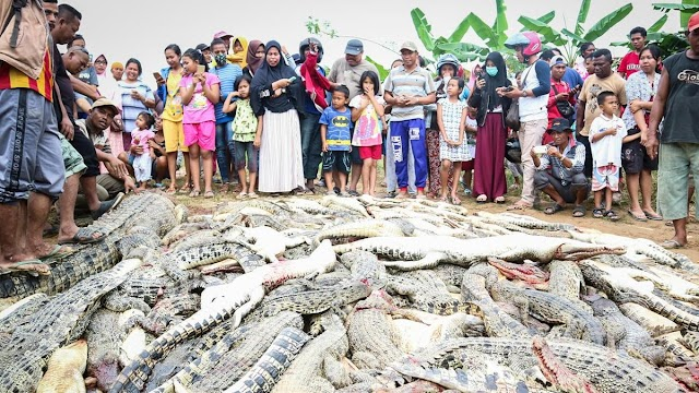 Mob slaughtered over 300 crocodiles for killing human being