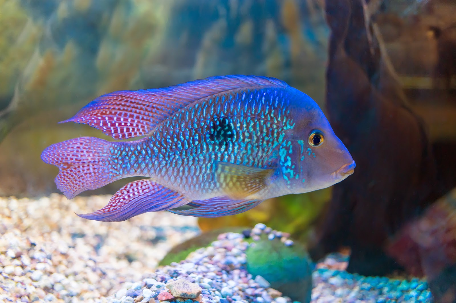 Cichlid fun animals wiki videos pictures stories for Cichlid fish tank