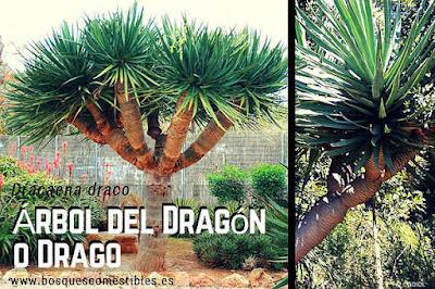 Drago, características, propiedades y aprovechamientos