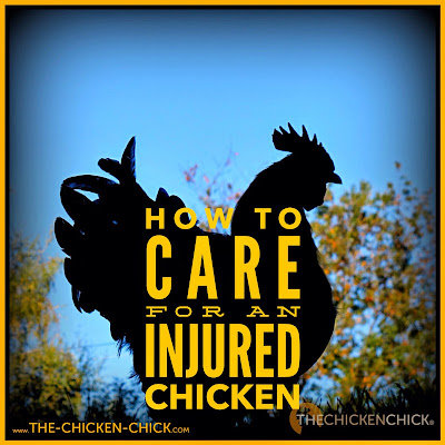 How to care for an injured chicken.