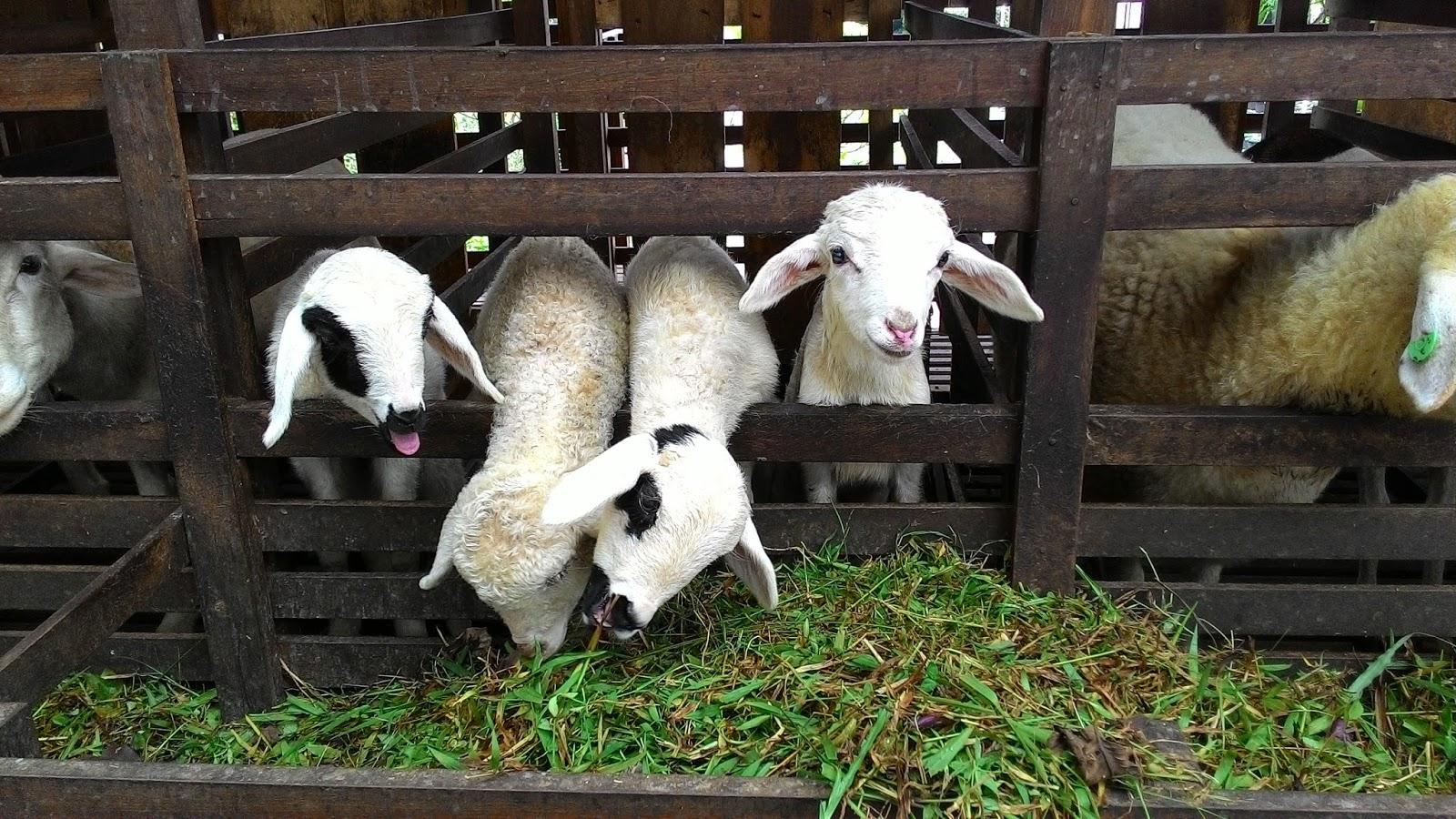 Kuntum Farm Field Bogor