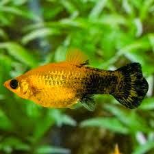 Dunia Ikan Hias - Gold Dust Molly