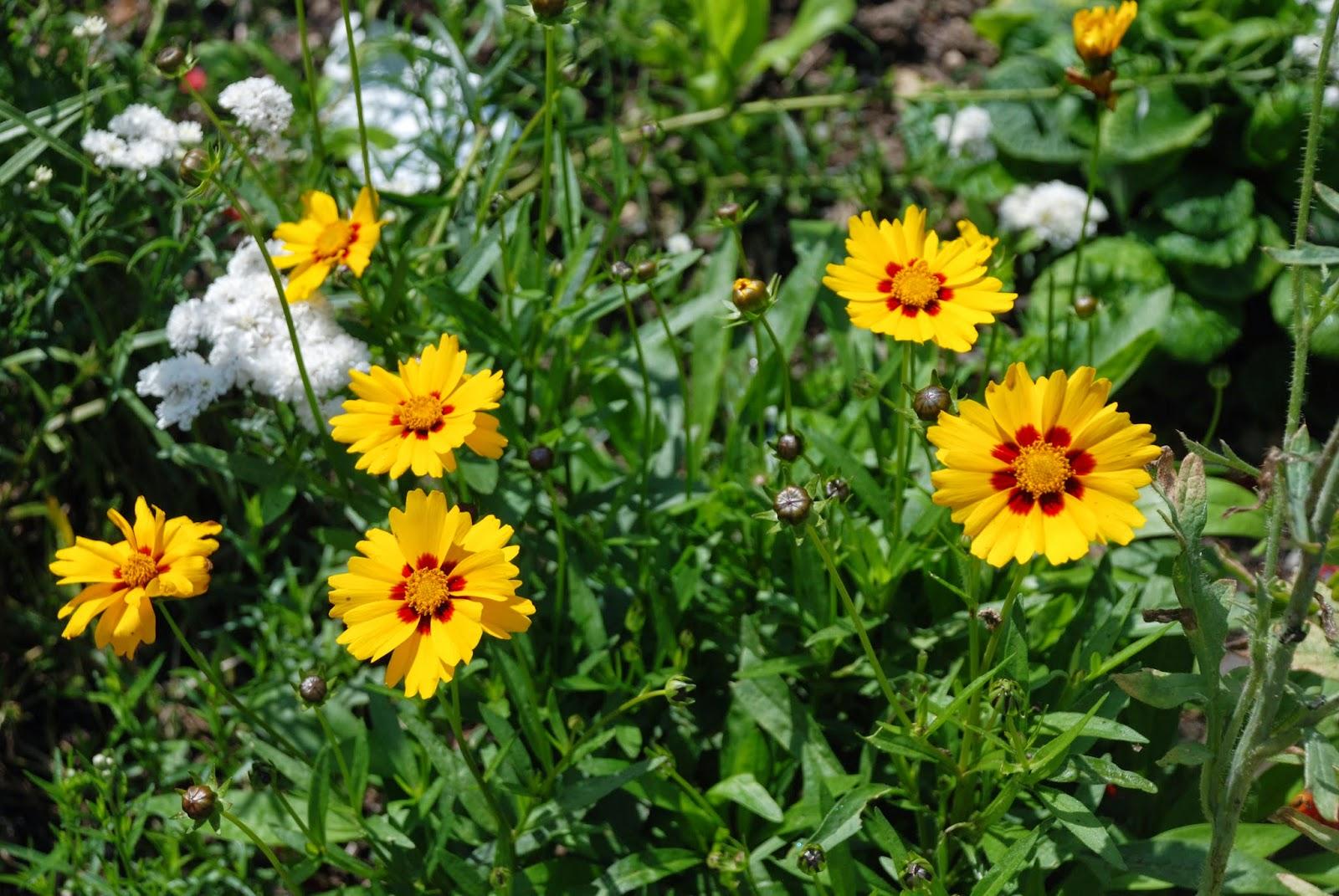 Bickenbach Blumen Madchenauge Gro0ssblutiges Madchenauge