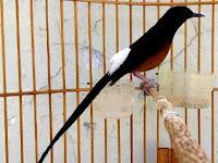 Cara Ampuh Melatih Kicau Burung Murai